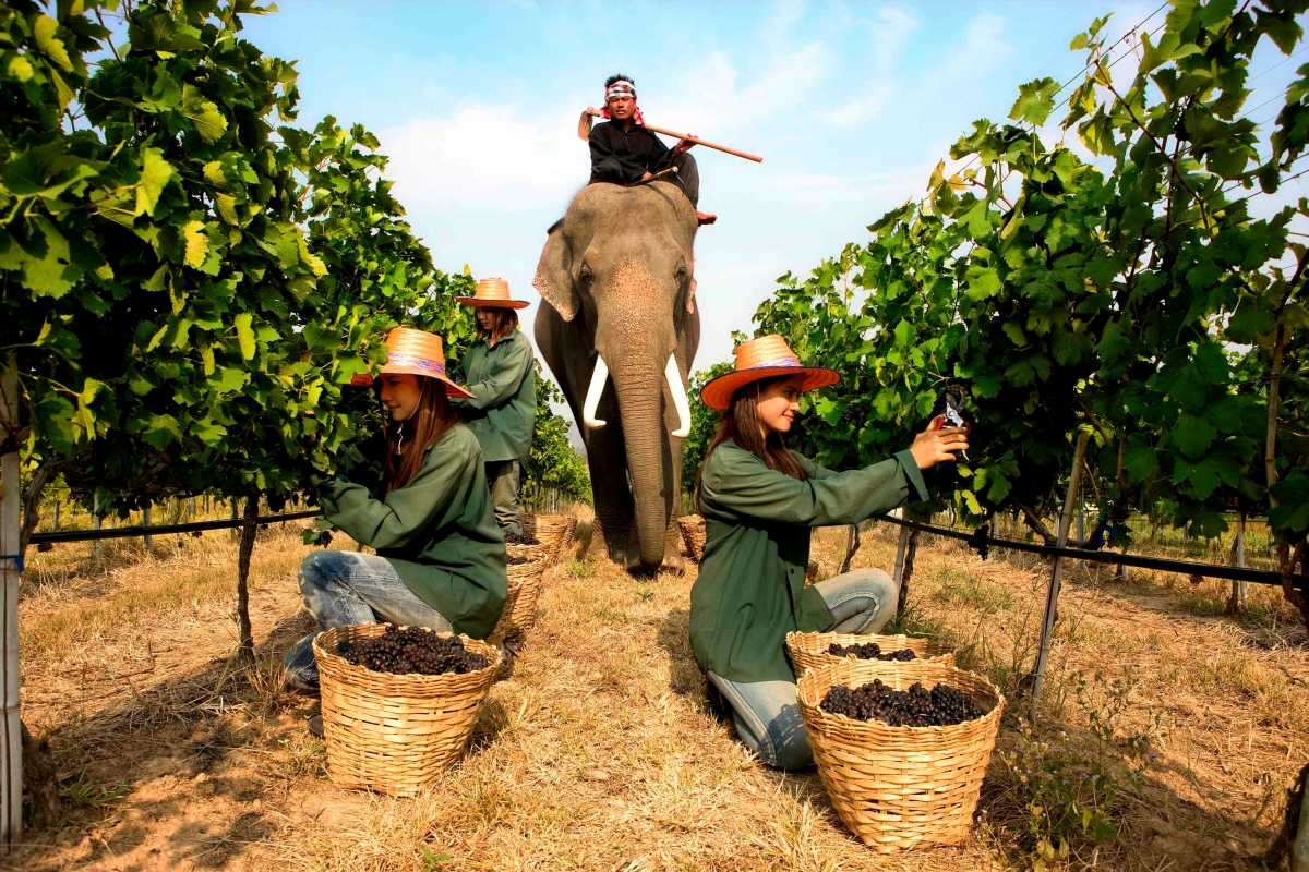 Hua Hin vineyard, harvest with an elephant